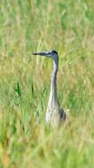 Héron cendré (kahem54) Tags: héroncendré oiseau échassier ardeidé eau étangs marais nikon animal animalier d5200 sigma150500 gris