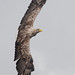 White-tailed Eagle-113 (davidgardiner8) Tags: mull raptors scotland whitetailedeagle