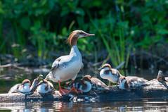 Grand Harle, Mergus merganser, Common Merganser, _CLD8269 (claudedube28) Tags: canard duck bird oiseau fauna faune wildlife faunesauvage québec canada