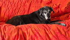 Remembering TiaMaria (Ellsasha) Tags: dog canine labrador dogs canines animal domesticanimals pet pets companiondogs blacklabrador grey gray