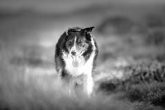 34/52 Fading Grays (JJFET) Tags: 34 52 weeks for dogs paddy border collie black white dog sheepdog mist elk herding