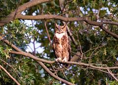 Great Horned Owl (swmartz) Tags: nikon nature newjersey outdoors wildlife owls mercercounty august 200500mm 2019 d610 backyard eyes
