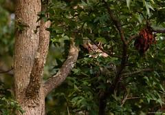 I'm Watching (swmartz) Tags: nikon nature newjersey outdoors wildlife owls mercercounty august 200500mm 2019 d610 backyard eyes