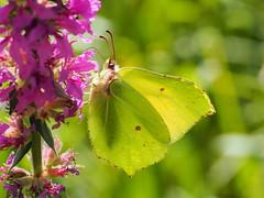 Brimstone Butterfly (Megashorts) Tags: gonepteryxrhamni olympus omd em10 mkii mzd 60mm f28 macro butterfly insect brimstone bug summer 2019 backlit