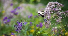 Pollinator Scene (Bernie Kasper (6 million views)) Tags: art berniekasper butterfly bug butterflies bugs color colour cliftyfallsstatepark d750 family flower flowers fun green hiking indiana indianawildflowers insect insects indianabutterflies light landscape leaf love leaves madisonindiana macro nature nikon naturephotography new outdoors outdoor old photography plant park photos plants photo people raw sigma summer pollinator joepyeweed sweetjoepyeweed tigerswallowtail swallowtail wildflower wildflowers unitedstates