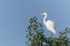 Grande aigrette (kahem54) Tags: grandeaigrette oiseau échassier ardeidé animal perchée arbre animalier photo nikon d5200 sigma150500 étangs marais