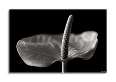 Anthurium (David Jonck) Tags: focusstack anthurium flower closeup nikon d850 blackwhite blackandwhite bw plant nature studio davidjonck macro 105mm