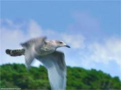 AY 232 (cadayf) Tags: 22 bretagne britanny nature oiseau bird goéland gull