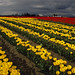 Rows of yellow and red tulips in field with storm clouds