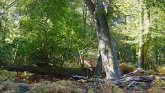 New Forest NP, Hampshire, UK (east med wanderer) Tags: england hampshire newforestnationalpark trees bracken oak beech nationalpark