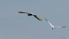 Grande Aigrette (michelpezier) Tags: oiseaux grandeaigrette casmerodiusalbus heurteauville seinemaritime