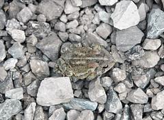 Anaxyrus americanus americanus (eastern American toad) (Kelleys Island, Lake Erie, Ohio, USA) 1 (James St. John) Tags: anaxyrus americanus eastern american toad kelleys island lake erie ohio amphibian amphibians toads