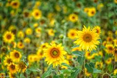 12082019-DSC_0019 (vidjanma) Tags: champ fleurs jaune tournesols