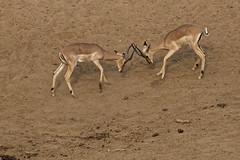 Impala (happybirds.ch) Tags: happybirdsch afriquedusud africa afrique south southafrica wild wildlife sauvage nature kruger mammal mammifère fight combat impala aepycerosmelampus ngc