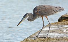 Great Blue Heron - Summerville Pier - © Dick Horsey - Aug 18, 2019