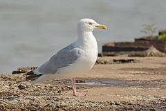 Herring Gull - Summerville Pier - © Dick Horsey - Aug 18, 2019