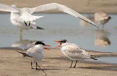 Caspian Tern (Adult/Juv) - Summerville Pier - © Dick Horsey - Aug 18, 2019