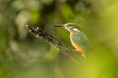 Martin-pêcheur d'Europe (Alcedo atthis) (G.NioncelPhotographie) Tags: martinpêcheur deurope alcedo atthis