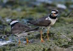 Ringed Plover (madziulka_a) Tags: ringedplover nikon d850 nikkor 200500mm poland wildlife nature bird photography sieweczkaobrożna