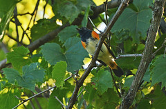 American Redstart - Whiting Road Nature Preserve - © Dick Horsey - Aug 20, 2019