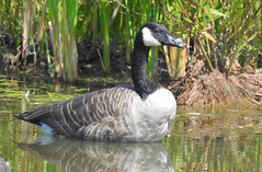 Canada Goose - Boulter Industrial Park - © Candace Giles - Aug 21, 2019