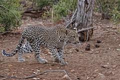 Leopard - Léopard (happybirds.ch) Tags: happybirdsch afriquedusud africa afrique south southafrica wild wildlife sauvage nature kruger mammal mammifère bigfive big five leopard léopard pantherapardus african africanleopard léoparddafrique ngc