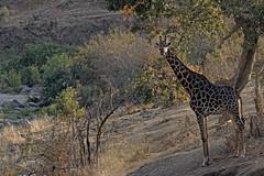 Giraffe - Girafe (happybirds.ch) Tags: happybirdsch afriquedusud africa afrique south southafrica wild wildlife sauvage nature kruger mammal mammifère giraffe girafe giraffacamelopardaliscapensis