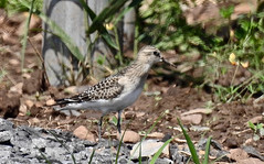 Baird's Sandpiper - Boulter Industrial Park - © Candace Giles - Aug 21, 2019
