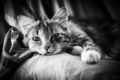 Envie d'autre chose. (LACPIXEL) Tags: autrechose otracosa somethingelse portrait retrato chat cat gato kitten kitty gatita chaton automne noiretblanc blancoynegro blackwhite nikon nikonfr nikonfrance envie envidia wish desire flickr lacpixel