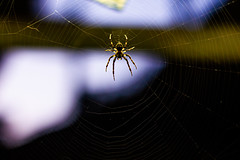 Spiders Web (Isengardt) Tags: spider spinne web netz nature natur tier animal klein tiny spiderman nahaufnahme close closeup bokeh esslingen badenwürttemberg deutschland germany europe europa canon eos 550d 50mm