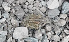 Anaxyrus americanus americanus (eastern American toad) (Kelleys Island, Lake Erie, Ohio, USA) 2 (James St. John) Tags: anaxyrus americanus eastern american toad kelleys island lake erie ohio amphibian amphibians toads