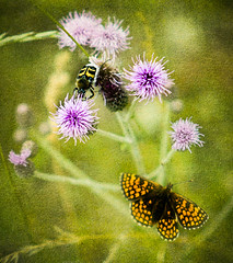 Nature on a mountainside (judy dean) Tags: judydean 2019 france savoie mountains wildflowers purple thistle bee butterfly flickrsbest