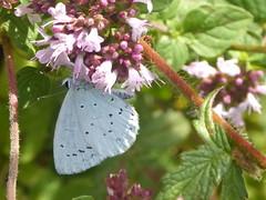 Holly blue (JuliaC2006) Tags: queendownwarren kent butterfly hollyblue celastrinaargiolus