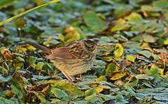Swamp Sparrow - Burger Park - © Dick Horsey - Aug 23, 2019