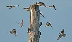 Tree Swallow - Burger Park - © Dick Horsey - Aug 23, 2019