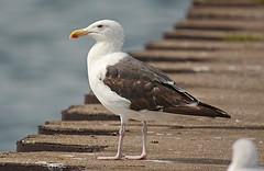 Great Black-backed Gull - Summerville Pier - © Dick Horsey - Aug 18, 2019