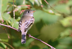 Least Flycatcher - Whiting Road Nature Preserve - © Dick Horsey - Aug 20, 2019