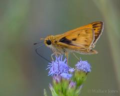 Hilochee WMA-Osprey Unit (wallacejones85) Tags: butterfly fieryskipper hilocheewma polkcounty