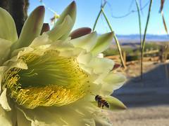 Landing Gear Down! (East of 29) Tags: bee cereus flower pollen desert 29palms cactus
