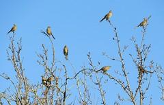 Chilean Mockingbirds, mocking us. (Ruby 2417) Tags: mockingbird bird wildlife nature flock elqui vicuna chile eclipse