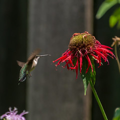 Ruby-throated Hummingbird and red monarda (amy buxton) Tags: hummingbird monarda amybuxton stlouis birds summer pollinate pollinator garden wings tiny rubythroatedhummingbird
