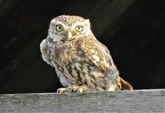 Little owl (marksargeant57) Tags: canonpowershotsx60hs strigiformes birdofprey bird athenenoctua owl littleowl