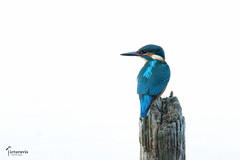 Kingfisher (Picturavis) Tags: see vogel bird germany perching picturavis animal tier deutschland lake dieskau schlossparkdieskau eisvogel alcedoatthis commonkingfisher