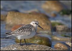 bécasseau sanderling (pat lechner) Tags: bécasseau bécasseausanderling sanderling bretagne finistère