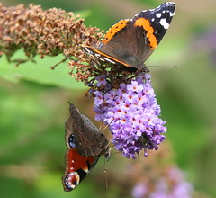 Photo of Red Admiral and Peacock