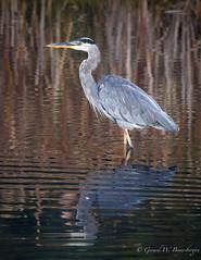 Great Blue Heron (Turk Images) Tags: ardeaherodias greatblueheron stormwaterpond urbanpark alberta ardeidae birds edmonton gbhe waterbirds