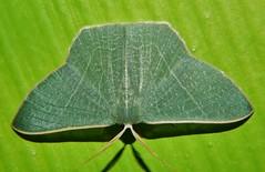 Gilded emerald moth Thalassodes dorsilinea Geometrinae Geometridae Geometroidea Mandalay rainforest Airlie Beach P1033213 (Steve & Alison1) Tags: gilded emerald moth thalassodes dorsilinea geometrinae geometridae geometroidea mandalay rainforest airlie beach