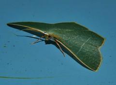Gilded emerald moth Thalassodes dorsilinea Geometrinae Geometridae Geometroidea Mandalay rainforest Airlie Beach P1033228 (Steve & Alison1) Tags: gilded emerald moth thalassodes dorsilinea geometrinae geometridae geometroidea mandalay rainforest airlie beach
