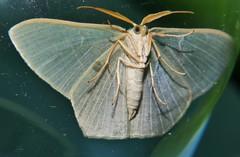 Gilded emerald moth Thalassodes dorsilinea Geometrinae Geometridae Geometroidea Mandalay rainforest Airlie Beach P1033218 (Steve & Alison1) Tags: gilded emerald moth thalassodes dorsilinea geometrinae geometridae geometroidea mandalay rainforest airlie beach