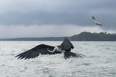 Frigatebird - Livingston - Guatemala (wietsej) Tags: frigatebird livingston guatemala sony rx10 rx10m4 rx10iv bird flying flight bif